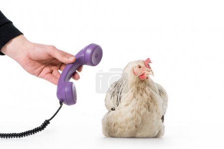 cropped shot of person giving handset to chicken isolated on white