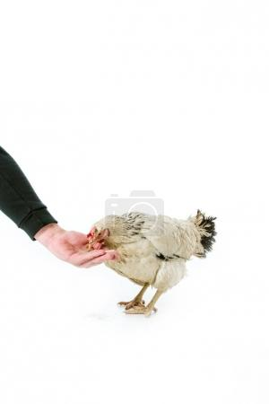 partial view of person feeding hen isolated on white