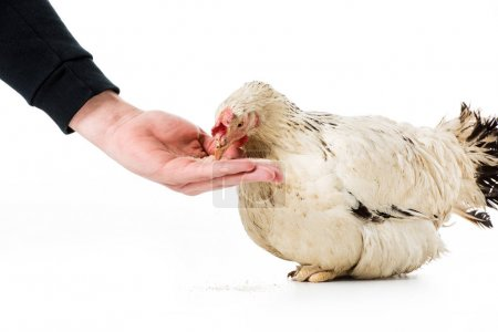 cropped shot of person feeding hen isolated on white