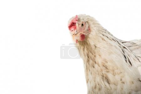 close-up view of beautiful white hen looking at camera isolated on white