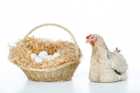 hen with wicker basket and eggs isolated on white