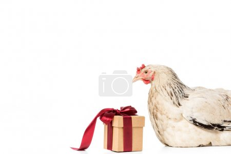 hen looking at gift box with red ribbon isolated on white