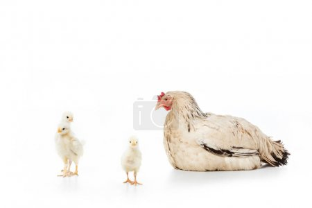 hen looking at cute little chickens isolated on white