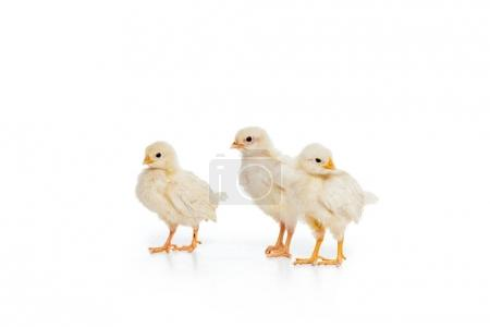 close-up view of three adorable little chickens isolated on white