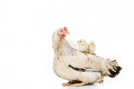 adorable little chickens sitting on hen isolated on white
