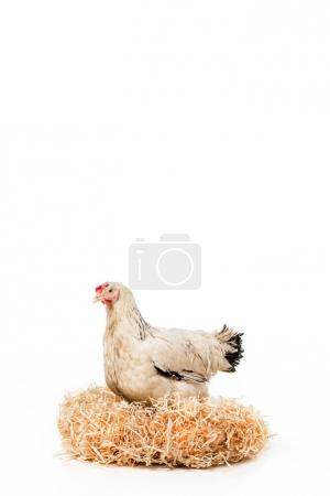 white hen sitting on nest with eggs isolated on white