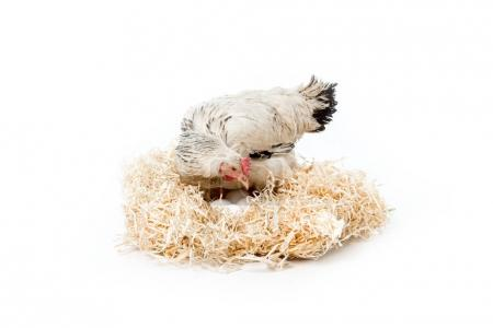 hen sitting on nest with eggs isolated on white