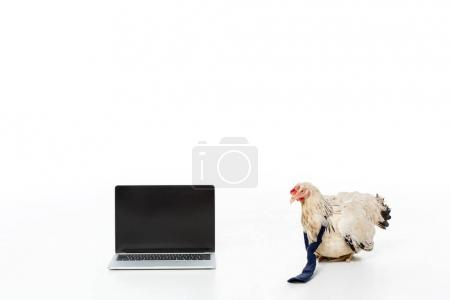 chicken near laptop with blank screen isolated on white