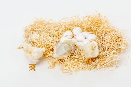 cute little chickens on nest with eggs isolated on white