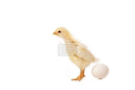 close-up view of cute little chicken with egg isolated on white