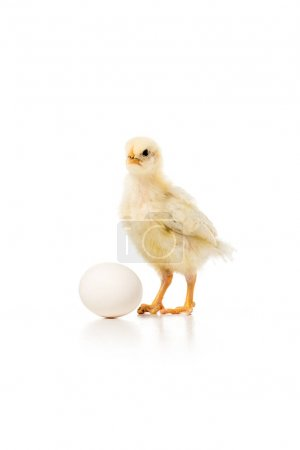 close-up view of adorable little chicken with egg isolated on white
