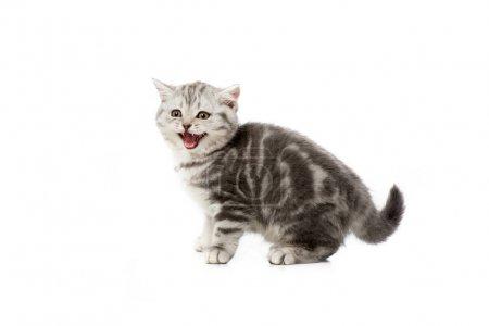 Photo pour Adorable chaton moelleux gris miauler isolé sur blanc - image libre de droit