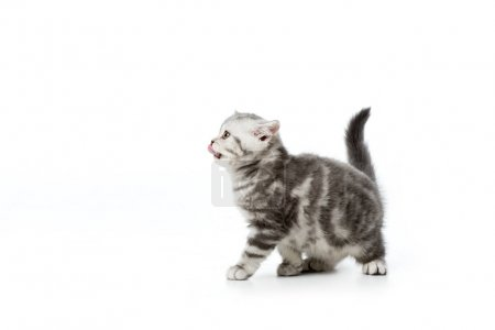 cute little kitten with tongue out looking away isolated on white