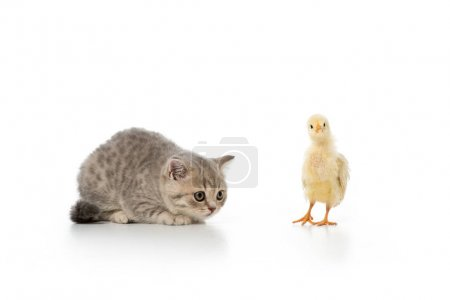 grey furry kitten looking at little chick isolated on white