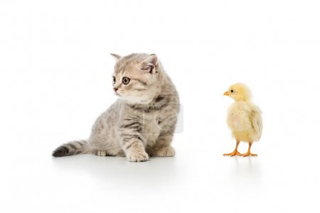 adorable little chick and cute furry kitten isolated on white