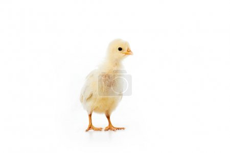 close-up view of adorable little chicken isolated on white