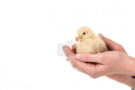 cropped shot of person holding cute little chicken in hands isolated on white