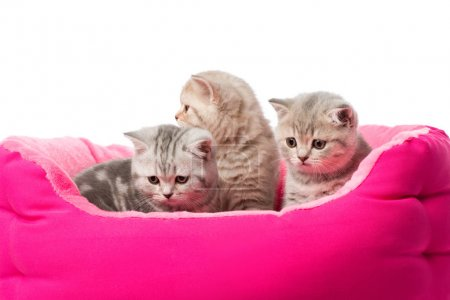 cute little fluffy kittens sitting in pink cat bed isolated on white
