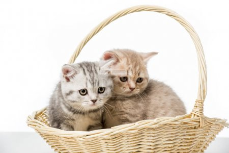 adorable fluffy kittens sitting in wicker basket isolated on white