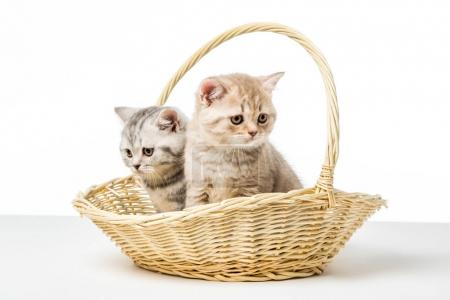 adorable fluffy kittens sitting in wicker basket on table top
