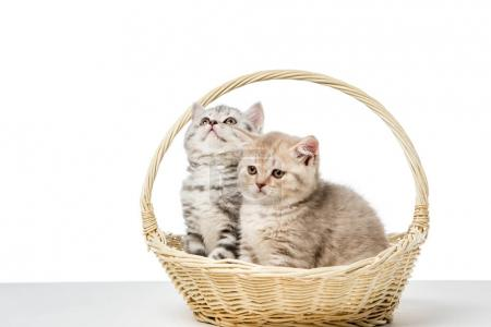 cute fluffy kittens sitting in wicker basket isolated on white