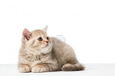 adorable british shorthair kitten looking up isolated on white