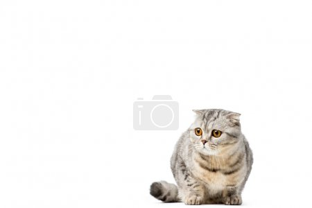 adorable scottish fold cat looking away isolated on white