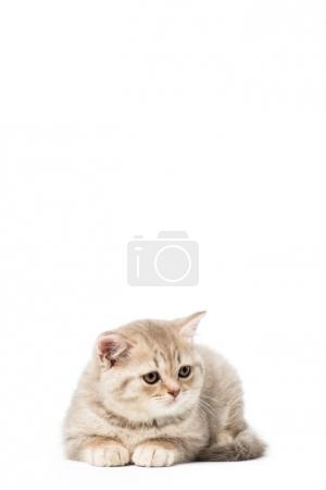 beautiful little grey cat lying isolated on white