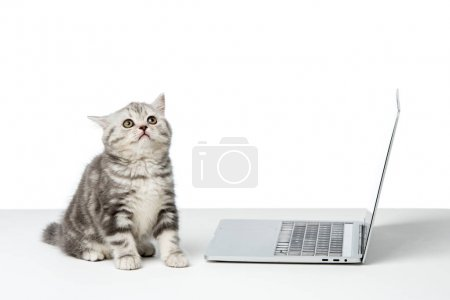 cute little british shorthair cat sitting near laptop on table top