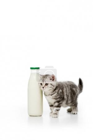 adorable little kitten standing near bottle of milk isolated on white