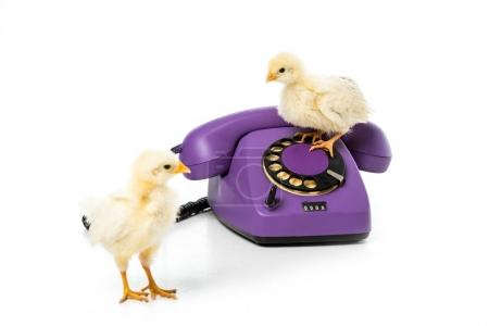 adorable little chickens with rotary telephone isolated on white