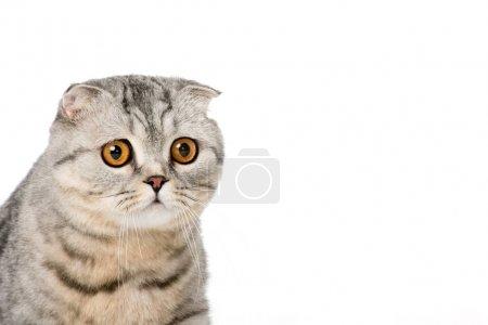 Photo pour Vue rapprochée de l'adorable chat écossais pliant regardant la caméra isolée sur blanc - image libre de droit