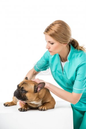 focused veterinarian examining french bulldog isolated on white
