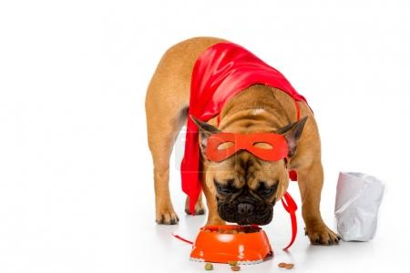 adorable french bulldog in superhero costume eating dog food isolated on white