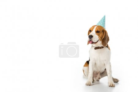 beagle dog in party cone sticking tongue out isolated on white