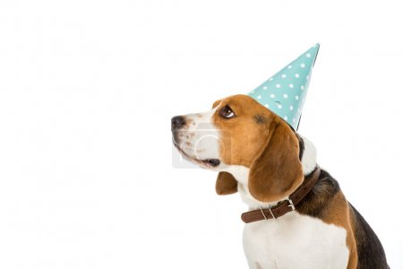side view of beagle dog in party cone isolated on white