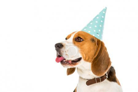 side view of beagle dog in party cone sticking tongue out isolated on white