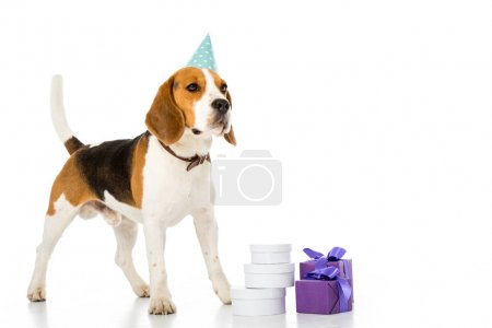 cute beagle dog in party cone standing near wrapped gifts isolated on white