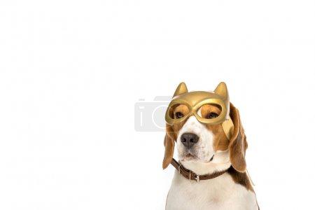 Photo pour Adorable beagle chien en masque doré isolé sur blanc - image libre de droit