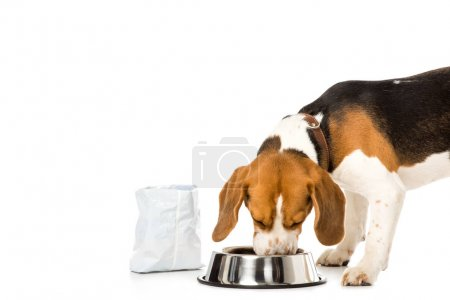beagle eating dog food isolated on white