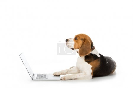 side view of adorable beagle dog with laptop isolated on white