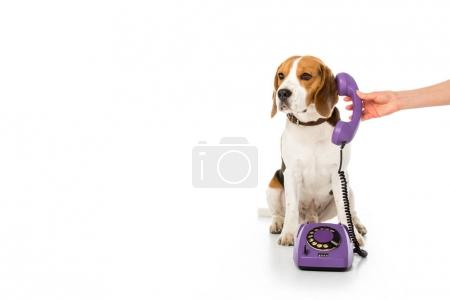 partial view of woman giving telephone tube to adorable beagle isolated on white