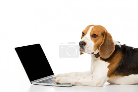 side view of adorable beagle dog with laptop with blank screen isolated on white