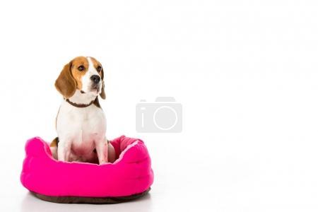 adorable beagle dog sitting on pink mattress isolated on white