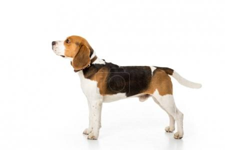 Photo for Side view of cute beagle dog in collar isolated on white - Royalty Free Image