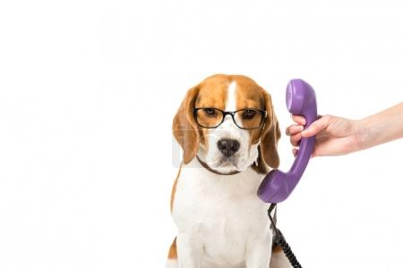 partial view of woman giving telephone tube to adorable beagle in eyeglasses isolated on white