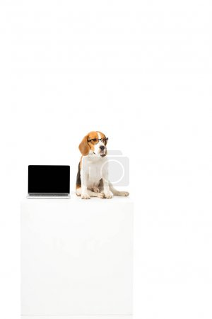 cute beagle dog in eyeglasses with laptop with blank screen sitting on white cube isolated on white