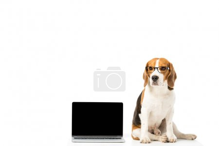 cute beagle dog in eyeglasses with laptop with blank screen isolated on white
