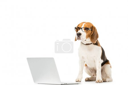 adorable beagle dog in eyeglasses with laptop isolated on white