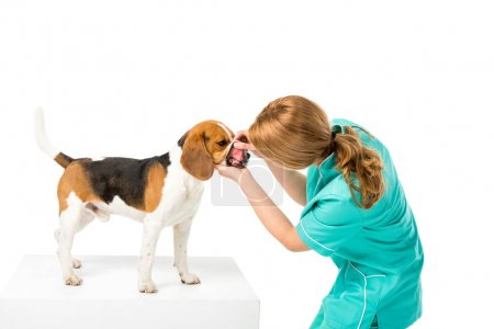 veterinarian examining beagle dogs teeth isolated on white